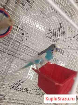 Волнистый попугай Ноябрьск