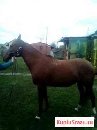 Лошадь донской породы Гаврилов-Ям