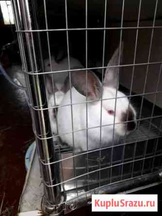 Кролики калифорнийской породы Ярославль