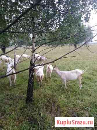 Кролики,козы,гуси,индюки Переславль-Залесский