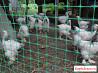 Цыплята Брама Колумбия