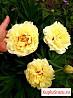Пион желтый Бартзелла (Bartzella) + розовый