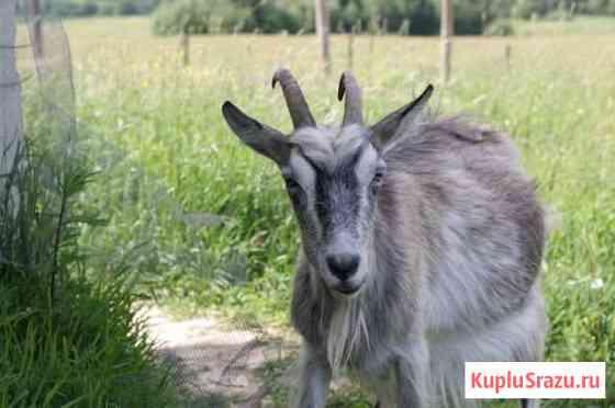 Коза первый окот с козленком(6мес) Пригородный