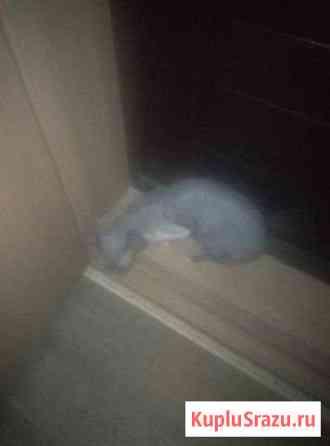 Кошка породы Канадский сфинкс Рубцовск