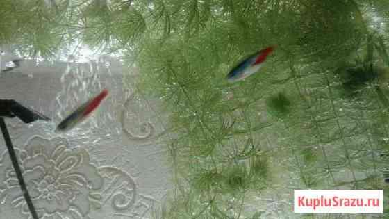 Растения в аквариум. Роголистник Петрозаводск