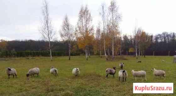 Продам овец 1.5 лет Волоколамск