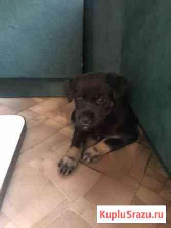 Продам щенка той-терьера, девочка 1,5 месяца Братск
