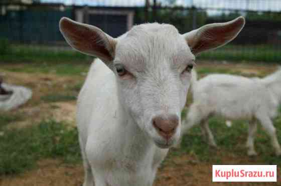 Козы и козочки,козлики,козы ламанчи(молочные) Омск