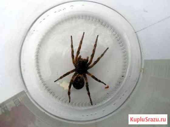 Южнорусский тарантул Джанкой