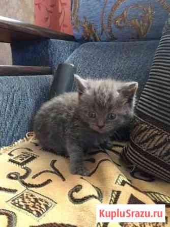 Продам котят британцы прямоухие, родились 21 сентя Каменск-Уральский