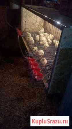Цыплята бройлерные Саратов
