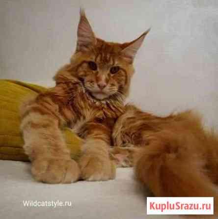 Котята мейн-кун Новосибирск