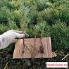Сеянцы. Сосна кедровая сибирская