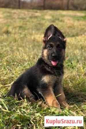 Высокопородные щенки немецкой овчарки Владивосток