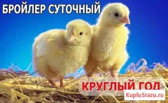 Цыплята бройлера. Чешская Республика. Весь Крым Симферополь