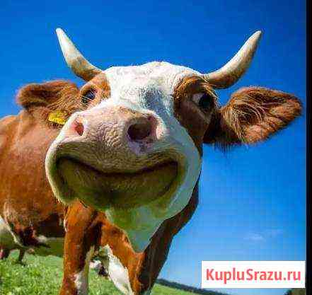 Корова Красноярск