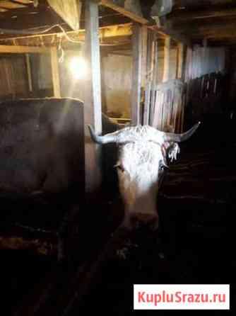 Корова Медынь