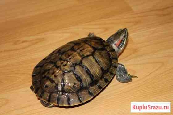 Красноухая черепаха Марковский