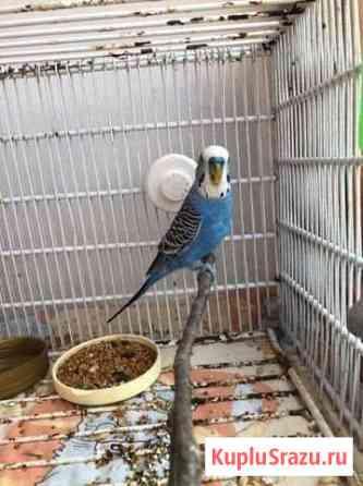 Попугай Топки