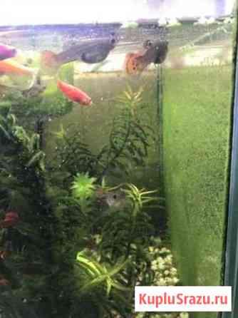 Рыбки гуппи Пушкин