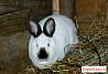 Кролики Крольчата Калифорнийцы