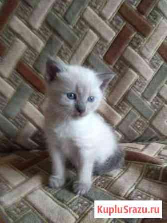 Сиамские котята девочки Калуга