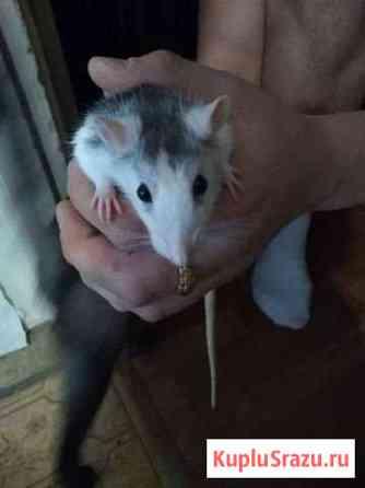 Отдам Крысу Новосибирск