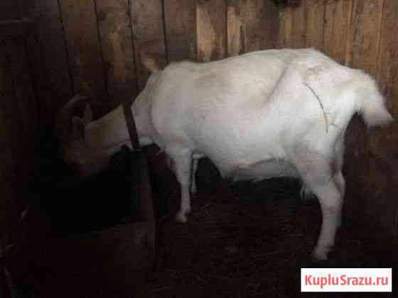 Коза на мясо Людиново
