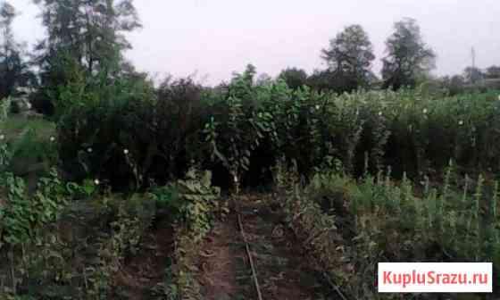 Саженцы плодовых деревьев Крыловская