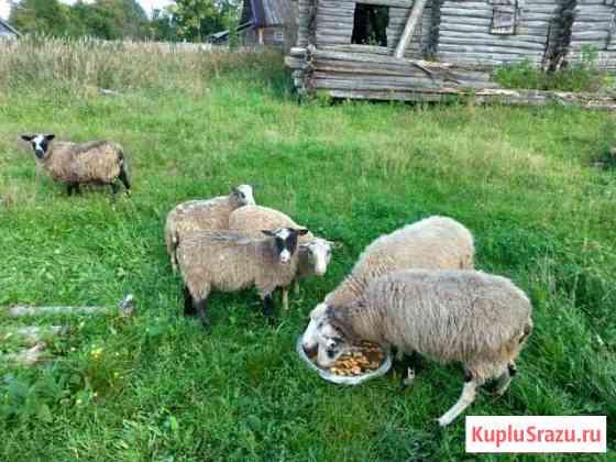 Овцы Шимск