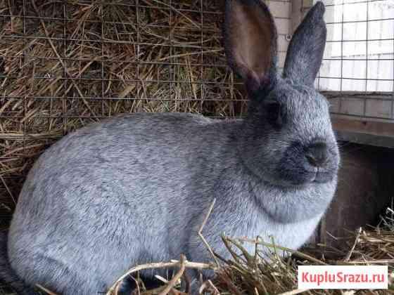Кролики Полтавское серебро Тамбов