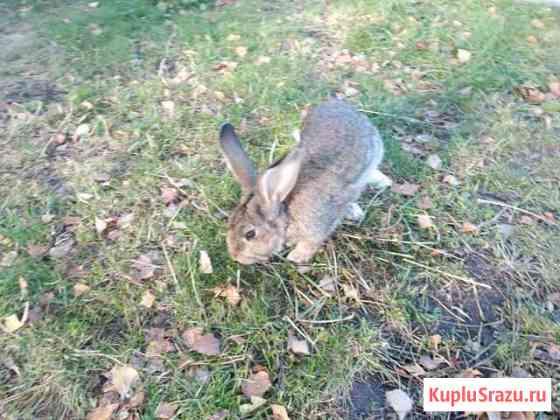 Взрослый крол Омск