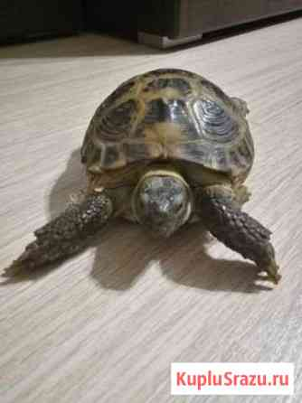 Сухопутная черепаха Новосибирск