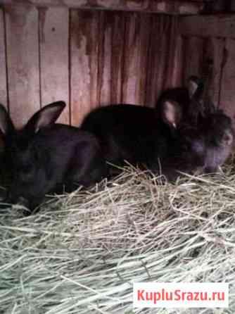Продам кроликов Канск