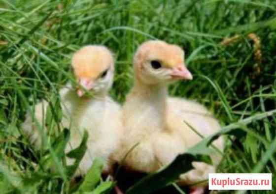 Суточные цыплята, утята, индюшата, гусята, цесарят Энем