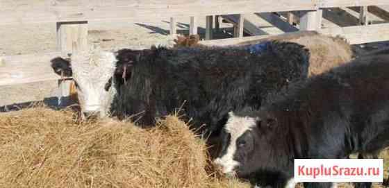 Телята бычки и телочки Шадринск