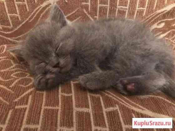 Британские котята Архангельск
