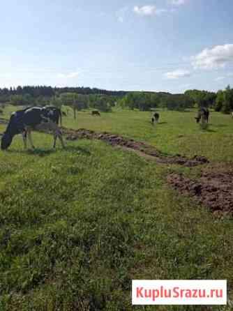 Телка Соликамск