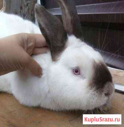 Калифорнийский кролик Киров