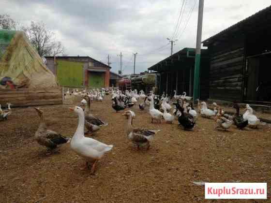 Гуси, утки, куры, яйца, молодняк Раменское