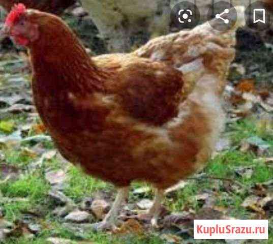 Куры 10 мес Курган