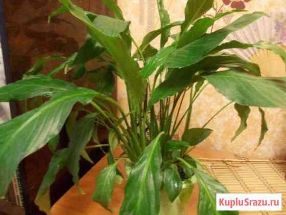 Комнатный цветок Спатифиллум (Женское счастье) Чита