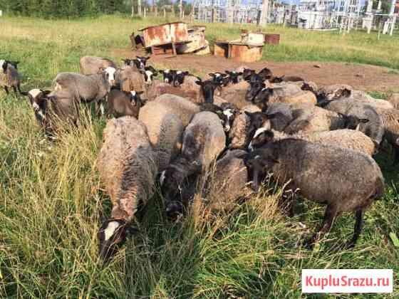 Овцы Романовской породы Ильинский