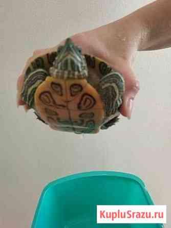 Черепаха красноухая ей 4 года абсолютно здорова Бахчисарай