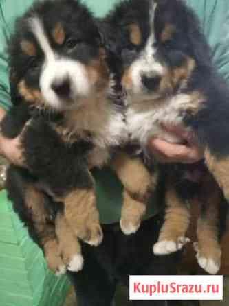 Продаются щенки Бернского зенненхунда. Родились 22 Белоярский
