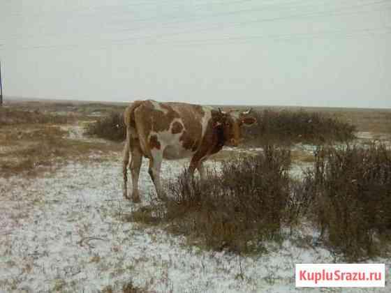Корова Горняк