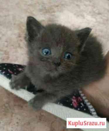 Котята от шотландской кошки Бийск