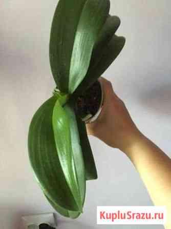 Орхидея Хабаровск