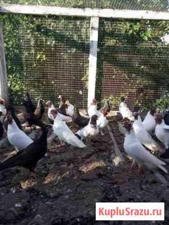 Бойные голуби Новый Оскол