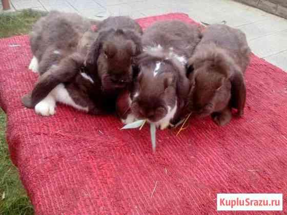 Породистые кролики Старая Полтавка